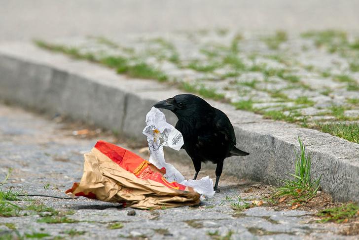 Фото №1 - В Амстердаме ворон научат убирать улицы