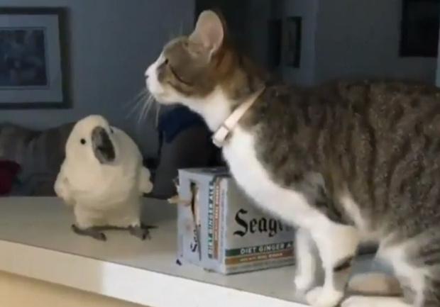 Фото №1 - Попугай с открытым клювом следит за прыжком кота (видео)