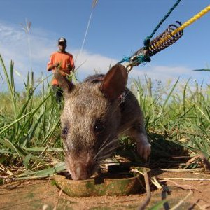 Фото №1 - В Колумбии крысы ищут мины