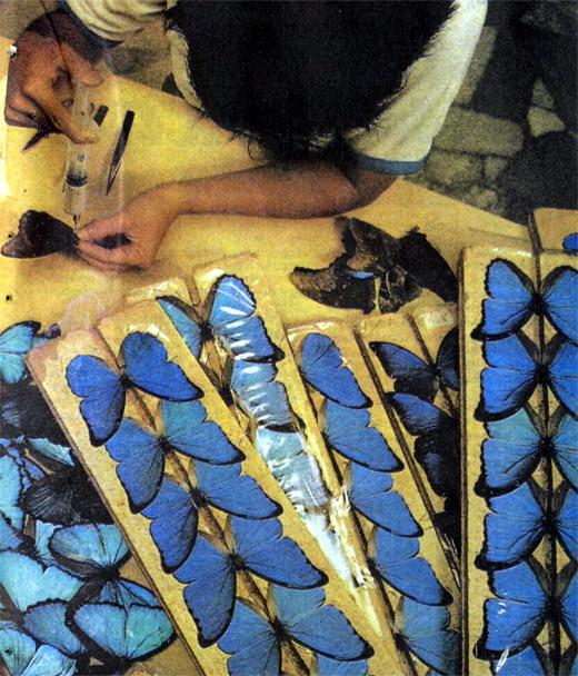 Фото №2 - Голубая морфо с бумажным туловищем