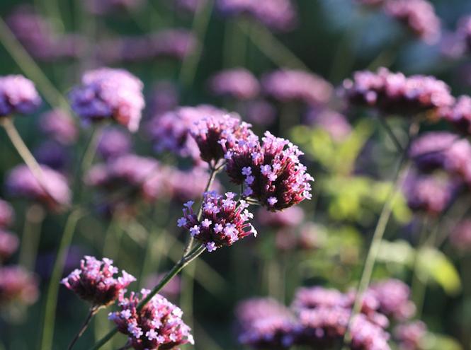 Фото №5 - Вечное лето: 5 долгоцветущих растений для сада