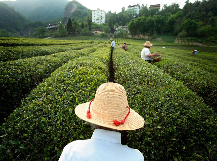 Фото №2 - От Шелкового пути до 5 o'clock tea: как чай стал одним из самых популярных напитков в мире