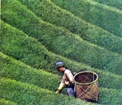 Известен на весь мир прекрасный японский чай. Только очень тяжело под палящим солнцем собирать его мягкие листочки.