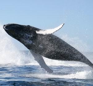 Фото №1 - Япония выловит 1000 китов