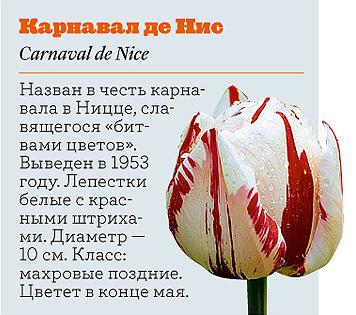 Фото №15 - Самые популярные сорта тюльпанов