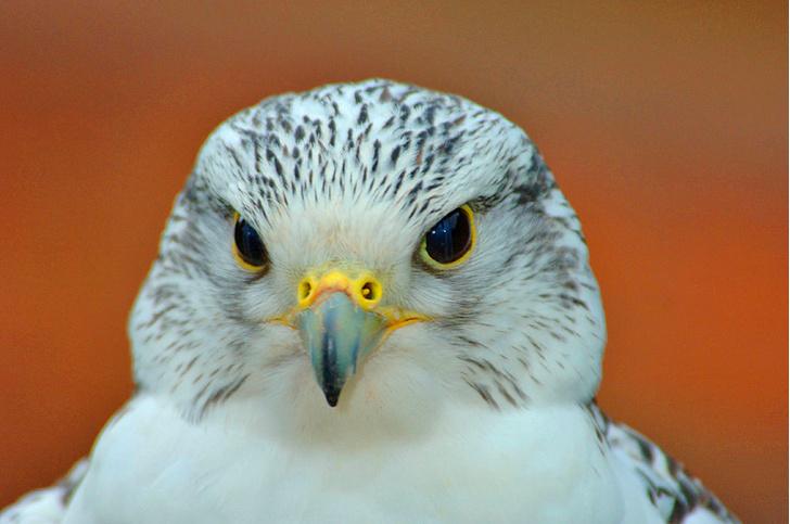 Фото №1 - В России восстанавливают популяцию белых кречетов