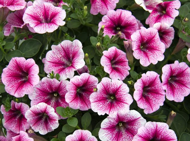 Фото №7 - Вечное лето: 5 долгоцветущих растений для сада