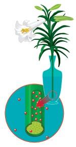 Даже чуть подвявший букет, поставленный в воду, снова оживает и еще какое-то время радует глаз своим первозданным видом. И происходит это потому, что вода начинает проникать в клетки стеблей и подниматься до самой верхушки растения. Это явление, открытое в 1805 году русским академиком Г.Ф. Парротом, называется осмосом. Суть его состоит в том, что если между водными растворами разной концентрации, разделенными пленкой растительного происхождения, будет происходить односторонняя диффузия растворителя (вода) и растворенного вещества (органический сок растений), то возникает процесс переноса веществ из раствора меньшей концентрации в раствор — с большей. А так как внутри срезанного цветка находится растительный сок, концентрация которого увеличивается от основания к верхушке — листьям и бутонам, то вода всасывается внутрь клеток растения, расширяя их и тем самым выпрямляя цветок.