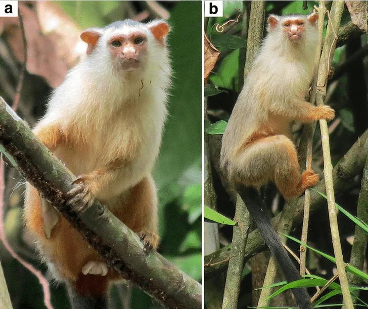 Фото №1 - В Амазонке обнаружили новый вид мартышек