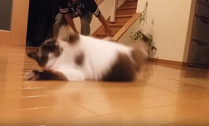 Фото №1 - В Японии обнаружен кот, которому нравится, когда им играют в кёрлинг (видео)