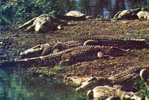 Фото №1 - Гуама — крокодилий рай