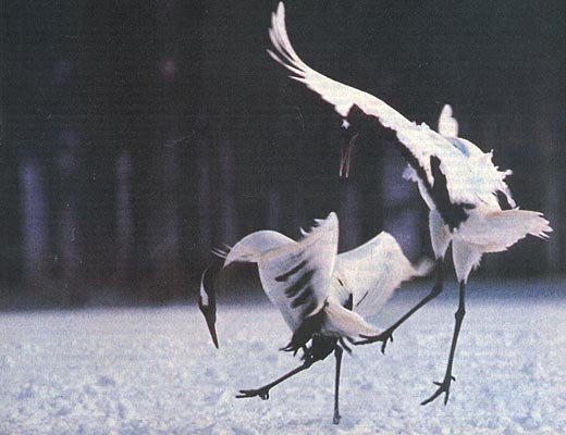 Фото №1 - Танцы с журавлями