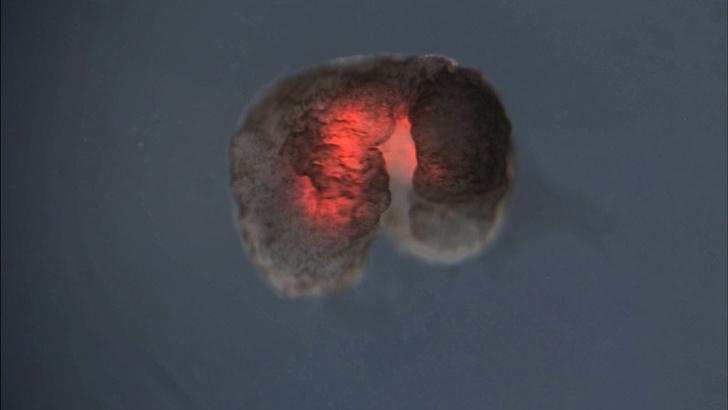 Фото №2 - Ученые создали биологических роботов из эмбрионов лягушек