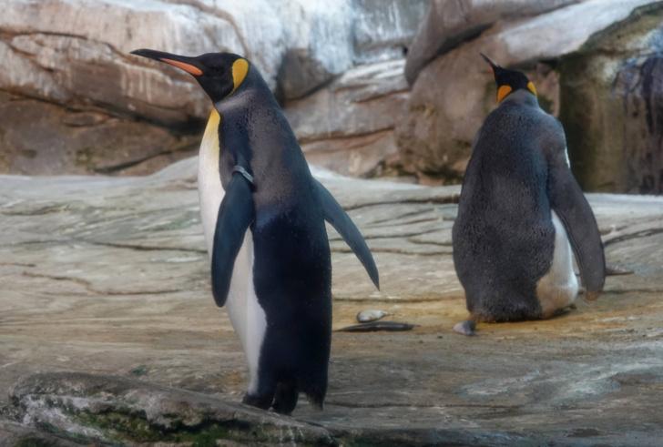 Фото №1 - Берлинские пингвины ждут потомство