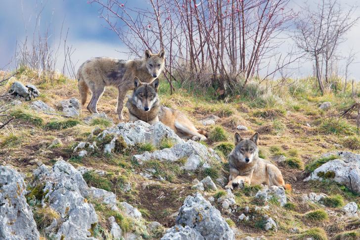 Фото №1 - Волки благотворно повлияли на дорожную обстановку в Висконсине