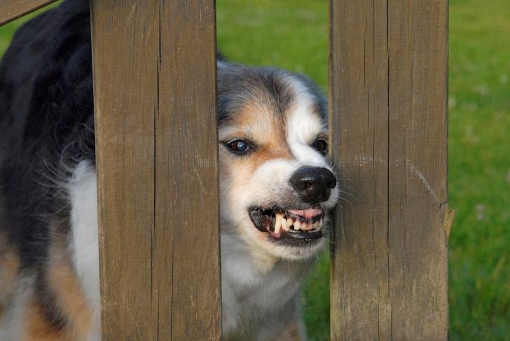 Фото №1 - Когда собака бывает кусачей