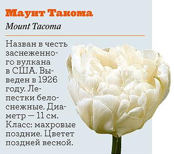 Фото №14 - Самые популярные сорта тюльпанов