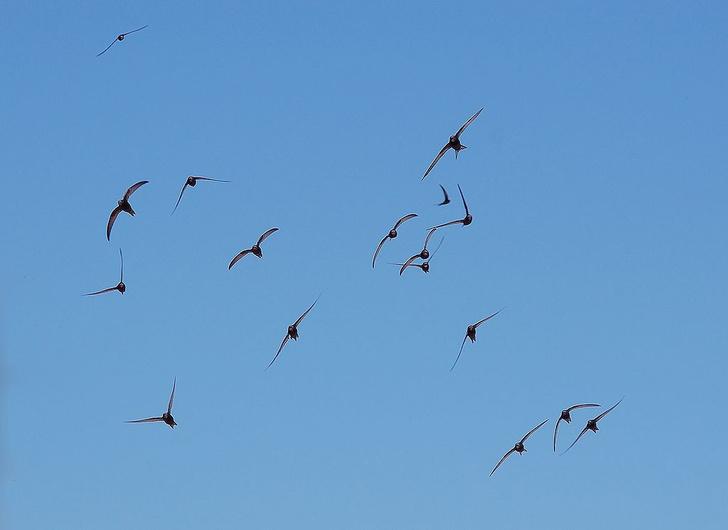 Фото №1 - Найдены птицы, проводящие в воздухе 10 месяцев в году