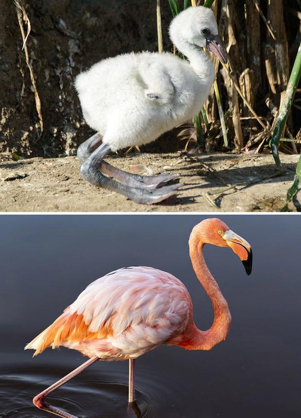 Фото №31 - 30 красивых птиц, которые были уродливыми птенцами (галерея)