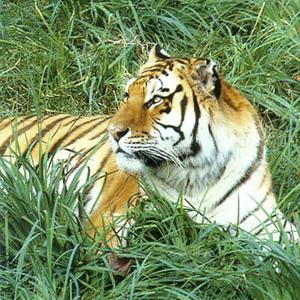 Фото №1 - У амурских тигров всплеск рождаемости