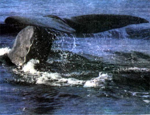 Фото №1 - Хозяин китовой бухты