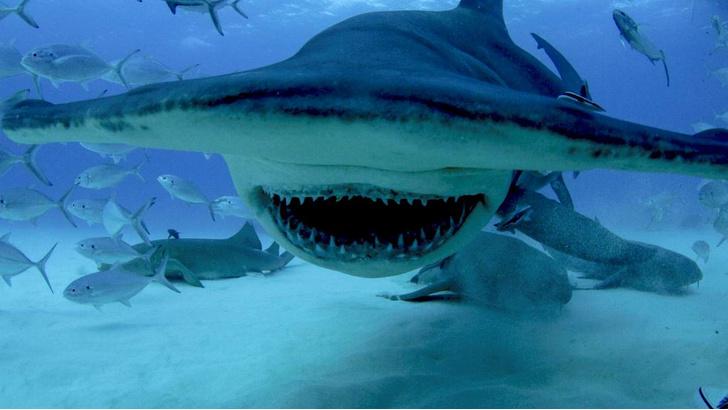 Фото №1 - Челюсти в фокусе: 5 нападений акул, которые потрясли мир