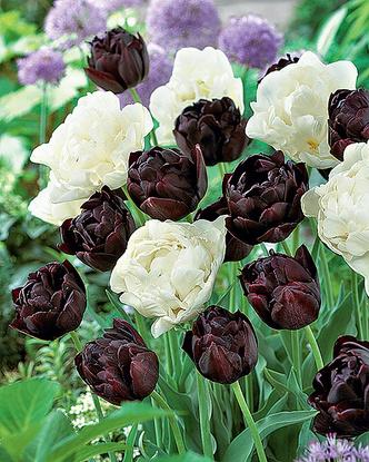 Фото №8 - Как тюльпаны стали национальным достоянием Нидерландов