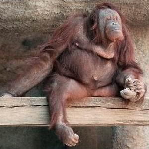 Фото №1 - Орангутанги освоили компьютер