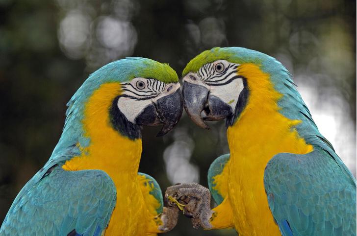 Фото №1 - Почему сине-желтые попугаи ара краснеют