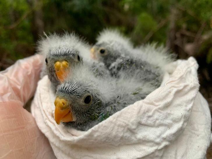 Фото №1 - В Тасмании увеличилось число редчайших попугаев