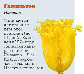 Фото №9 - Самые популярные сорта тюльпанов