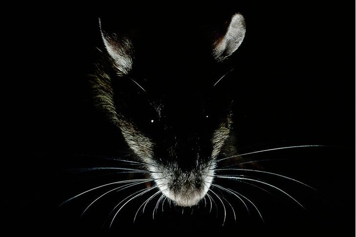 Фото №6 - Прогрызая путь: как устроено крысиное общество и чем оно похоже на человеческое