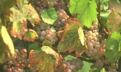 Фото №1 - «Доктор Питер» прописал виноградолечение