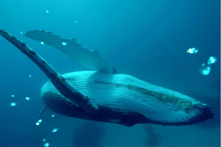 Фото №1 - Горбатые киты перестают петь