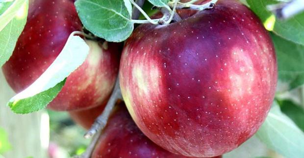 Фото №1 - В США появился сорт яблок, которые не портятся год (если лежат в холодильнике)
