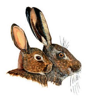 Фото №1 - Чем заяц отличается от кролика?