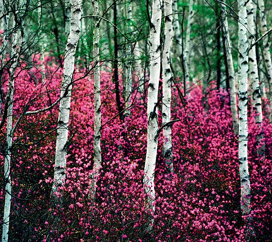 Фото №1 - Роза Алтая