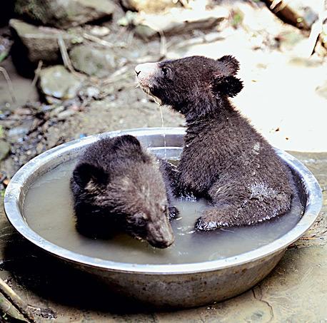 Фото №1 - Китай. Гималайский медведь