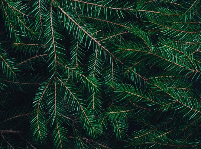 Фото №3 - Как выбрать елку на Новый год?