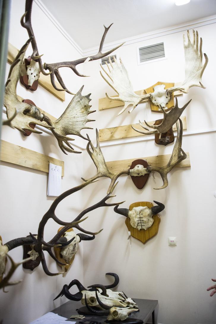 Фото №5 - Царские трофеи: как охотились русские цари и почему их трофеи оказалась в запасниках Дарвиновского музея