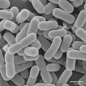 Фото №1 - Лактобактерии спасут младенцев