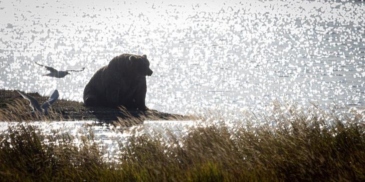 Фото №1 - Знакомься: Холли— возможно, самая упитанная медведица в мире (фото и видео)