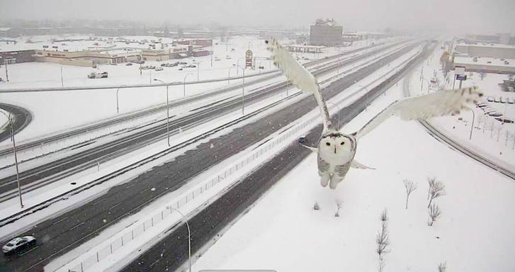 Фото №2 - Автоматическая дорожная камера в Канаде сделала редкие снимки полярной совы