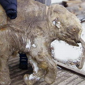 Фото №1 - На Ямале обнаружен мамонтенок