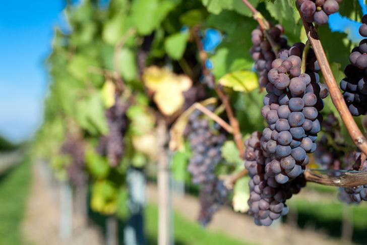 Фото №1 - Вкус вина меняется из-за глобального потепления