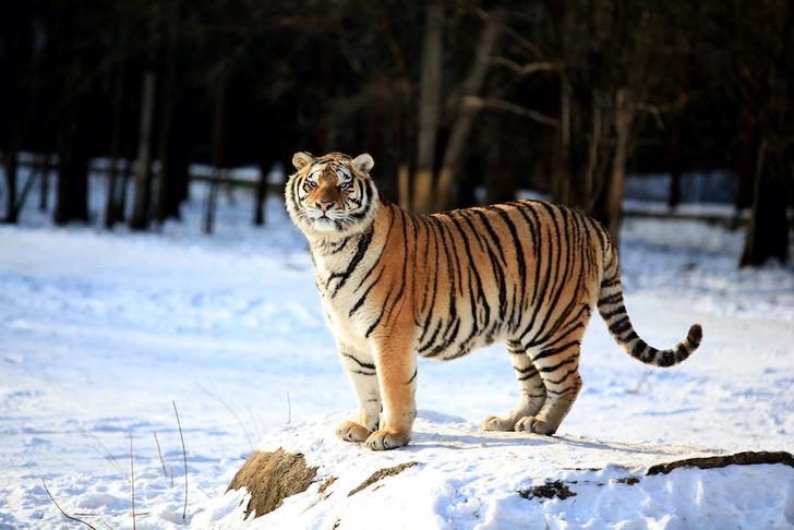 Фото №1 - Ледяной дождь в Приморье усложнил жизнь амурским тиграм