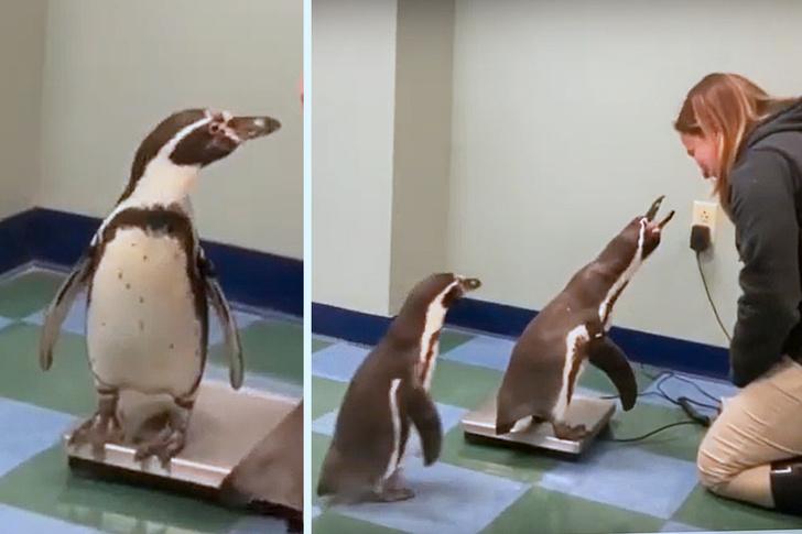 Фото №1 - Как взвешивают пингвинов: милое видео