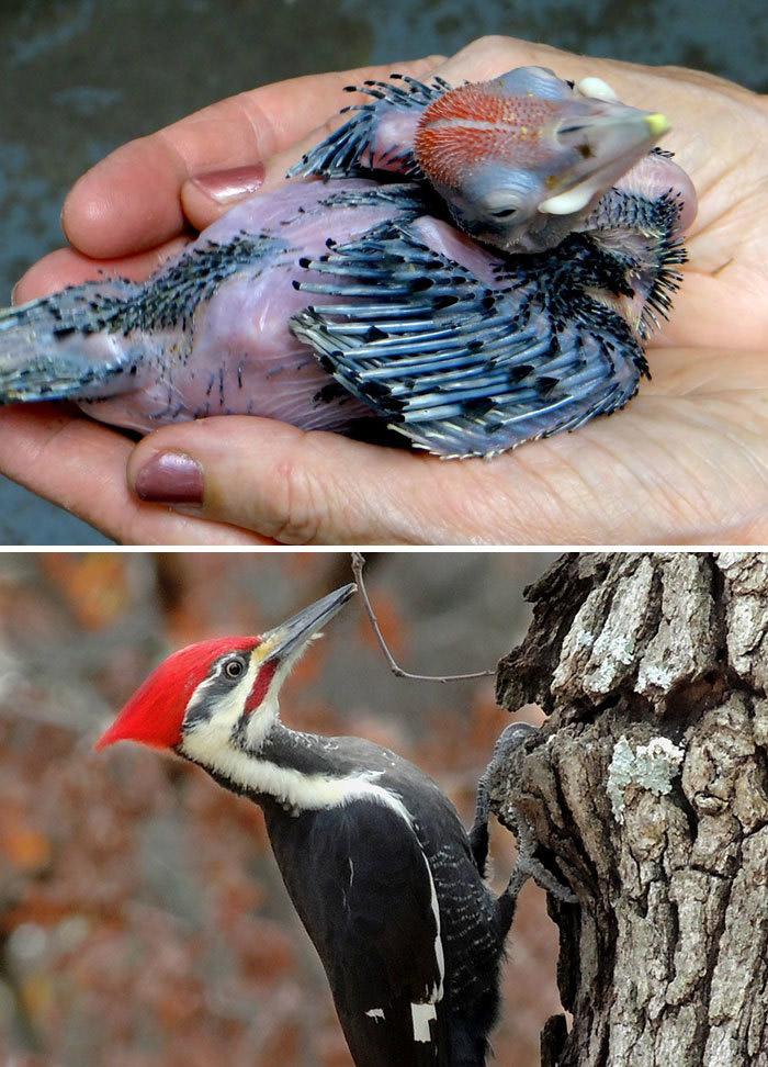 Фото №13 - 30 красивых птиц, которые были уродливыми птенцами (галерея)