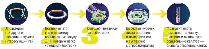 Фото №2 - Как создают трансгенные растения: 5 показательных примеров