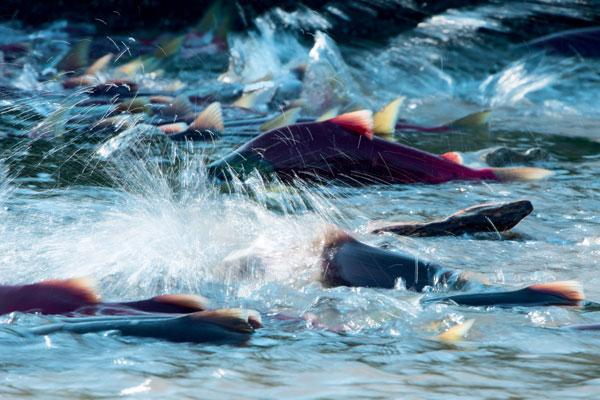 Фото №1 - Вечное возвращение: удивительные факты из жизни лососей